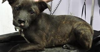 Meet Houdina. She is a small terrier mix, perhaps with a splash of mountain cur. At 6 mo old and weighing 18 lbs, she will be a medium size adult someday. This baby has a wart on her nose, a couple on her back, not contagious, was examined by the shelter veterinarian. The shelter said she is a very sweet and friendly girl. She will be with us soon, more info will be posted. Last Day Dog Rescue - Livonia Michigan