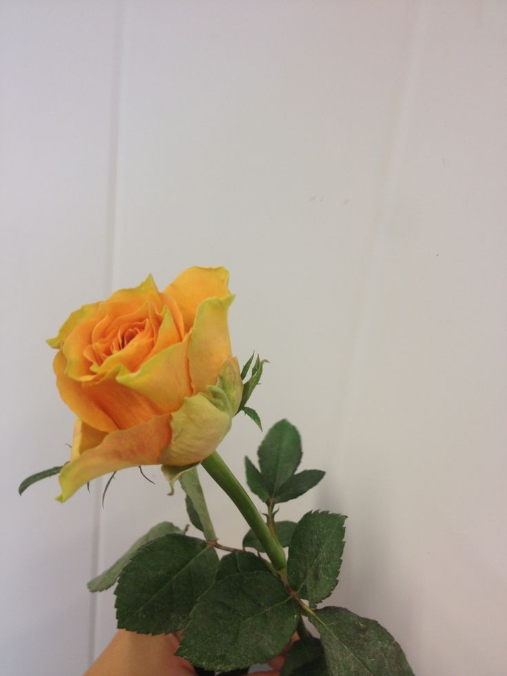 Rosa - Cuba Libre - Rose - Orange/Fersken