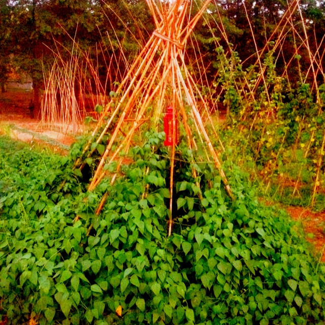 Pole bean teepee with hanging lantern for the kiddos!: Pole Beans, Pile Beans, Beans Teepees, Mr. Beans