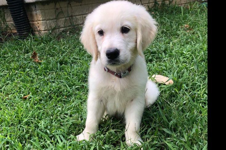 Storybrooke Golden's Has Golden Retriever Puppies For Sale