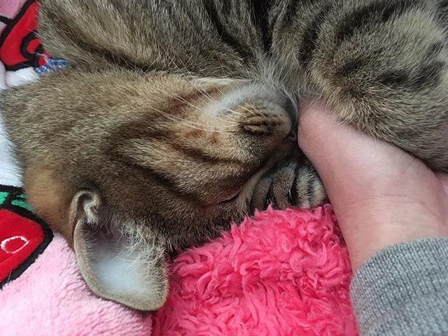 #🐈 パッとしない天気( ´_ゝ`) . . . #猫#ネコ#ねこ#cat#天使#親バカ#元捨て猫#キジトラ#写真#picture#photo#愛猫#にゃんすたぐらむ#寝顔