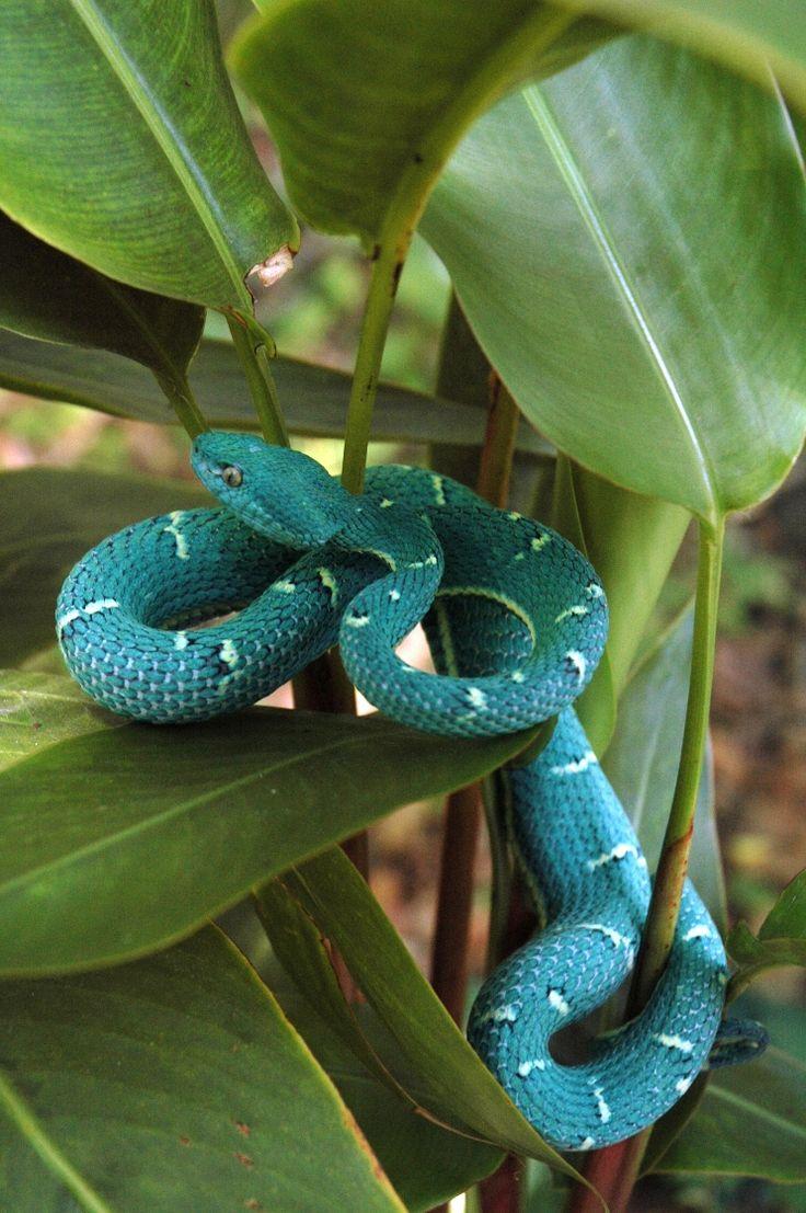 Side-striped Palm Pit Viper (Bothriechis lateralis) Panama