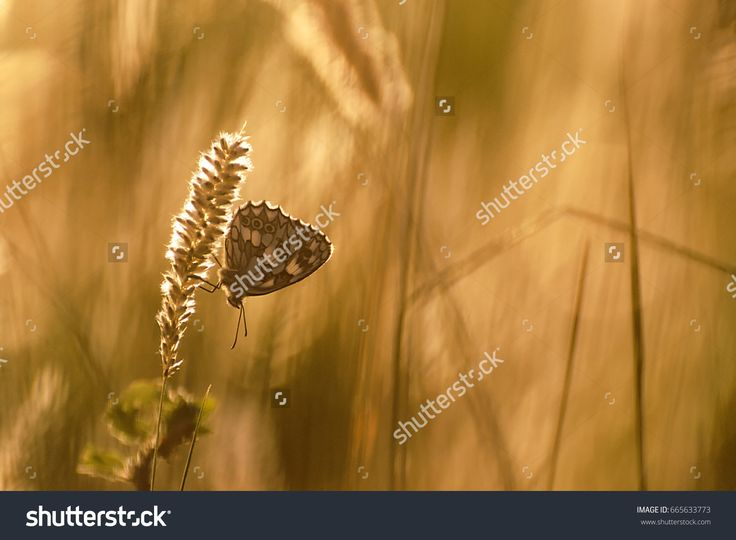 Golden sunset meadow background. Bright summer nature. Butterfly on grass.