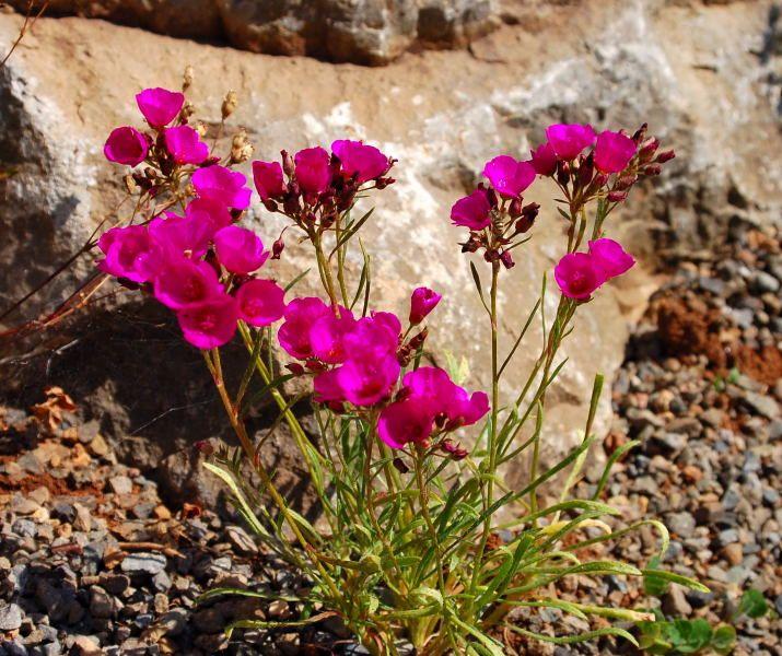 Purpur-Schirmchen (Calandrinia umbellata)