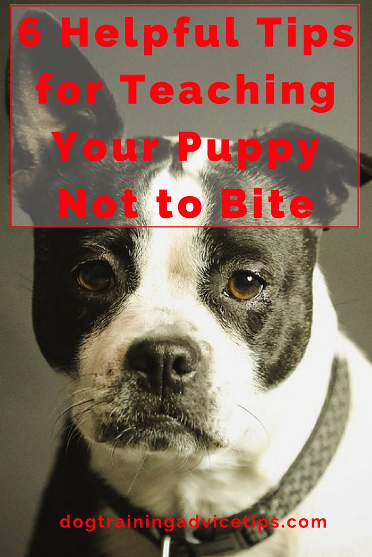 6 Helpful Dog Training Tips for Teaching Your Puppy Not to Bite | Dog Training Tips | Dog Obedience Training | Stop Puppy Biting | Puppy Biting Prevention | http://www.dogtrainingadvicetips.com/6-helpful-dog-training-tips-teaching-puppy-not-bite