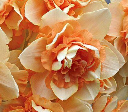 Narcissus 'Sweet Desire'