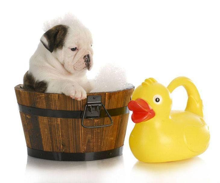 ideas about Cute Bulldogs on Pinterest   Bulldog puppies