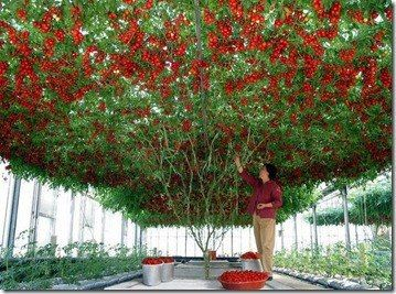 Another method of vertical farming is the trellis method. Plants like tomatoes, peppers, pole beans, grapes and even melons grow very well in these systems. Having most of the weight of the plant supported by the trellis it is able to continue expansive growth. This allows the plant to produce more fruits for harvesting.