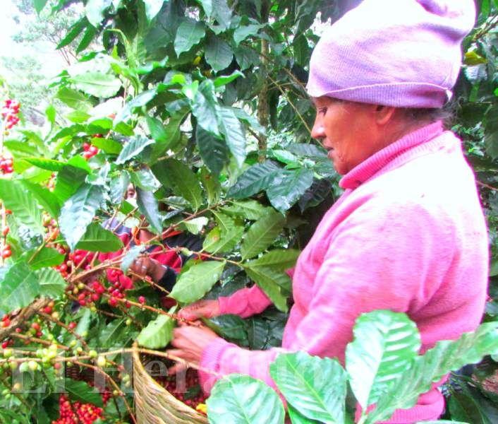 Se pronostica alza de 10% en la exportación de café en Honduras    Adecafeh prevé 7.2 millones de quintales para esta cosecha. Ihcafé destaca a Comayagua como el mayor productor de café http://www.elheraldo.hn/economia/888252-216/se-pronostica-alza-de-10-en-la-exportaci%C3%B3n-de-caf%C3%A9-en-honduras