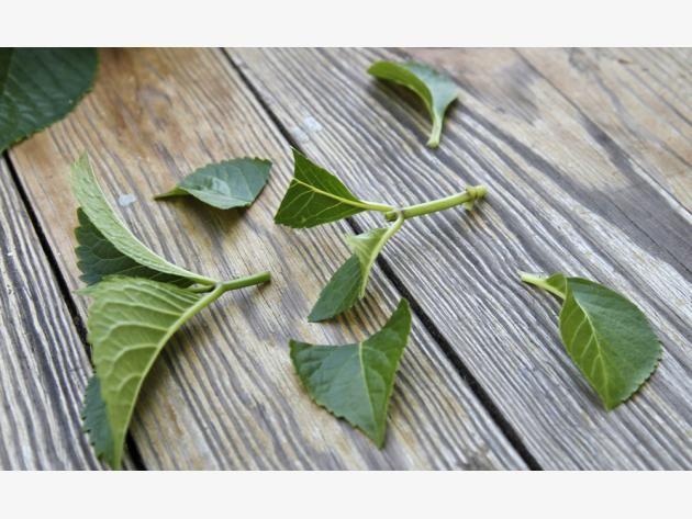 Lovely Hortensien durch Stecklinge vermehren