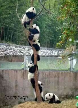 "Pandas: ""Tree Climbing.""   (https://www.eukhost.com/amazing-website/ )"