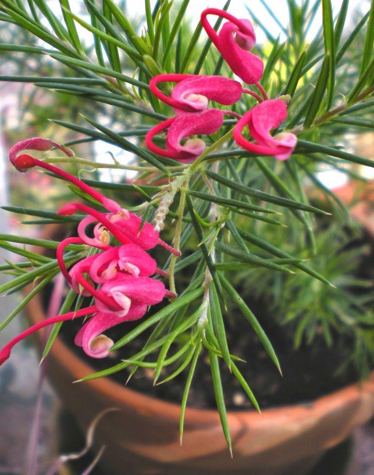 Gardening With Grace: Grevillea rosmarinfolia