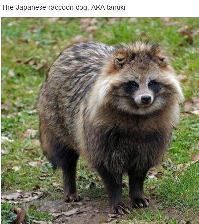A tanuki, a Japanese raccoon dog.