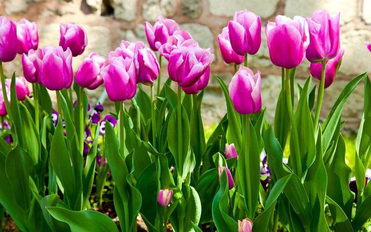 17 Best Ideas About Purple Wallpaper On Pinterest: 17 Best Ideas About Purple Tulips On Pinterest