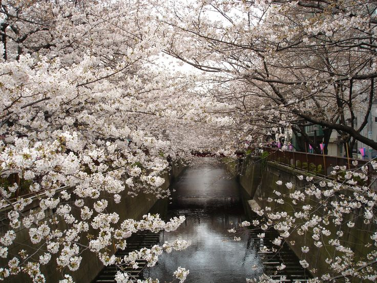 2560x1920 water japan cherry blossoms trees flowers ...
