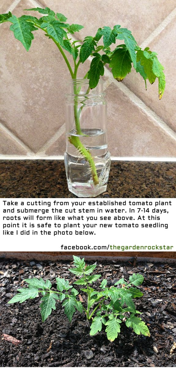 How to Regrow Tomato Plants from cuttings