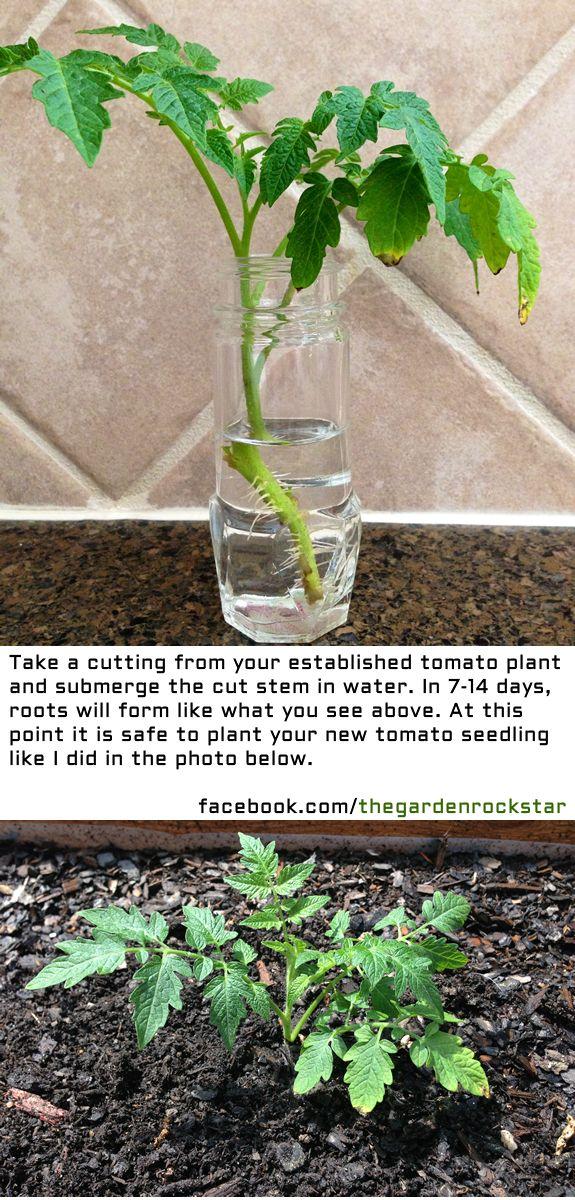 How to Regrow Tomato Plants