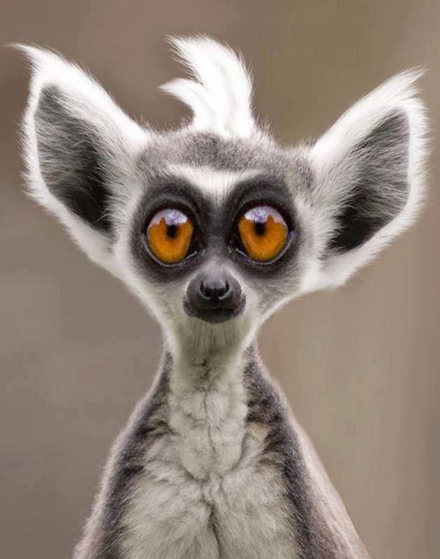 Cute Lemur wants to know if you can move it, move it.