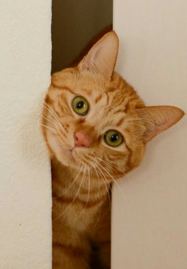 Pin By J Jones On All Things Cats Orange Tabby Cats Cute Cats Beautiful Cats