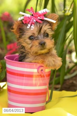 Quinona - Yorkshire Terrier Puppy for Sale in Millersburg, OH - Yorkshire Terrier - Puppy for Sale