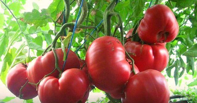 Paradicsom: bő termésre számíthatsz!