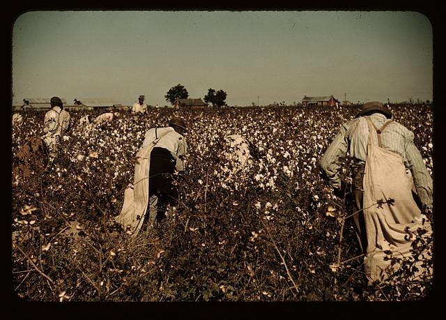 Day-laborers pick cotton near Clarksdale, Mississippi, in November 1939, and carry large white pouches on their backs. (FSA photographer Marion P. Wolcott, Library of Congress)