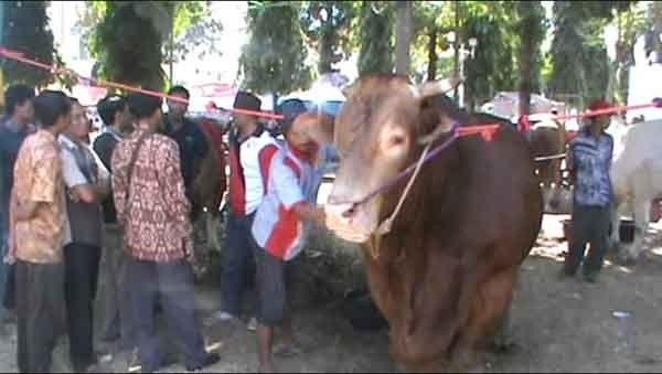 Kontes Ternak, Pemerintah Daerah Genjot  Budidaya Sapi Unggulan