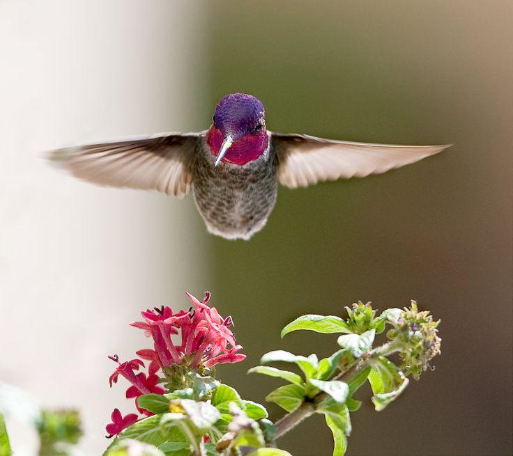 hummer by Daniel Pham: Internet Marketing, Pretty Hummingbirds, Hummingbirdsmi Fave, Hum Birds, Beautiful, Birdies, Flower, Angel Land, Feathers Friends