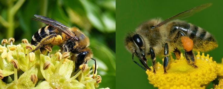 Ivy mining bee (left) and a honey bee (right). Ivy bees are very efficient at carrying pollen - notice how the legs are much hairier and the pollen basket is the entire length of the leg.