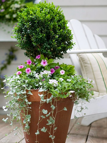 clipped boxwood, dichongra, purple vinca: Silver Fall, Gardens Favorite, Decks Plants Decor, Boxwood Topiaries, Boxwood In Pots With Flowers, Clip Boxwood, Decks Pots Plants, Purple Vinca,  Flowerpot
