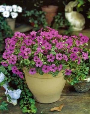 G ranium vivace 39 sateene 39 achat vente plantes vivaces for Achat plante jardin