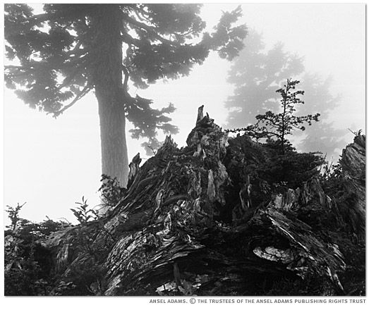ansel adams pine tree - photo #16