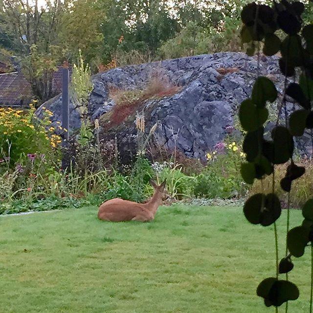 Den lille gynnaren ligger och idisslar rödbetsblast och njuter frukost på gräsmattan. Grrr.