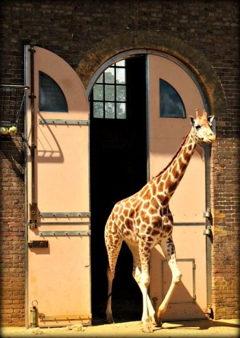 The giraffe house London zoo is the only original building still serving it's designed purpose.