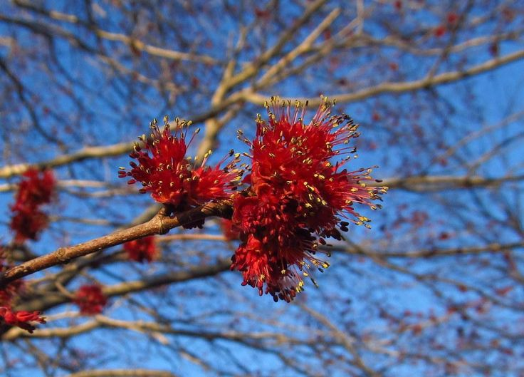 Photo of Red Maple (Acer rubrum) uploaded by jmorth