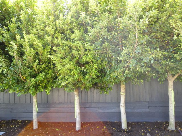 Ficus Hillii Flash Weeping Fig Front Garden