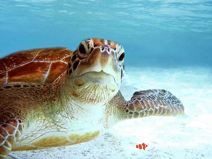 Green Sea Turtle Posing for the Camera