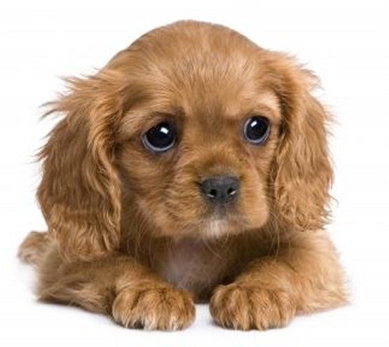 Adorable Cute Cavalier King Charles Spaniel Puppy