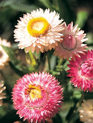 Helichrysum Paper Daisy- Super easy to grow, looks stunning & Aussie Native Stingless Bees LOVE them!!!