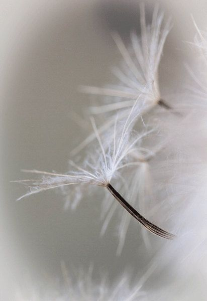 My Wish For You, Dreamy Dandelion Photograph Fine Art Print, Art, Photograpy, Macro, Summer White, Fairy Tale, Art Decore, Childrens Room on Etsy, $30.49 CAD