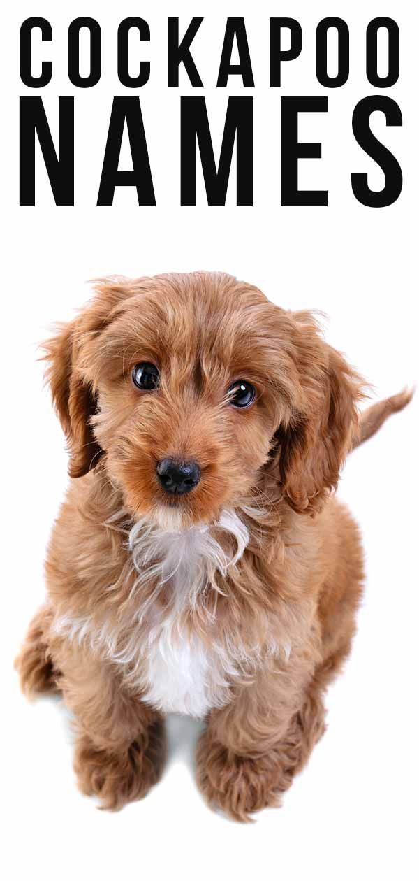Over 230 Cockapoo Names As Awesome As Your Puppy Cockapoo