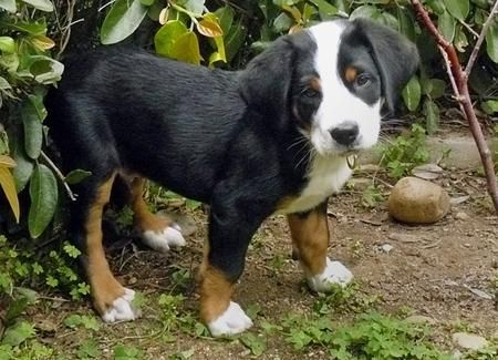 Greater Swiss Mountain Dog (Short hair version of the Bernese Mountain Dog!) win. win.