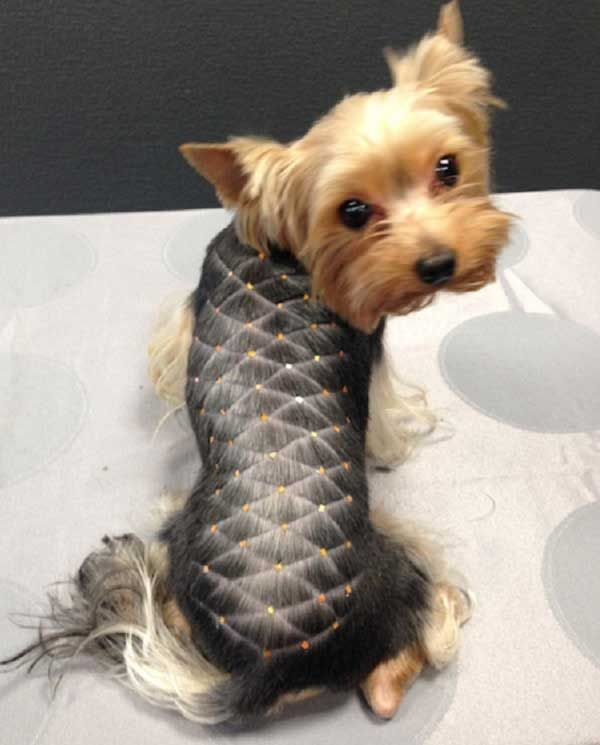best 25 yorkshire terrier haircut ideas on pinterest