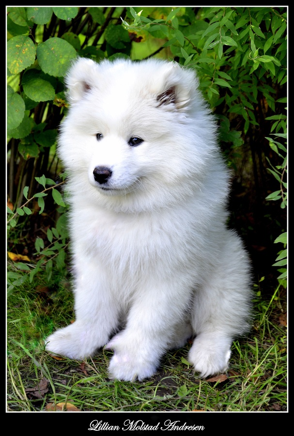 Samoyed Puppy... I love these little polar cub baby look alikes :)