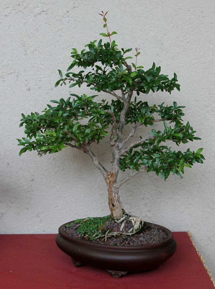 114 best images about Bonsai - Flowering & Fruit on ...