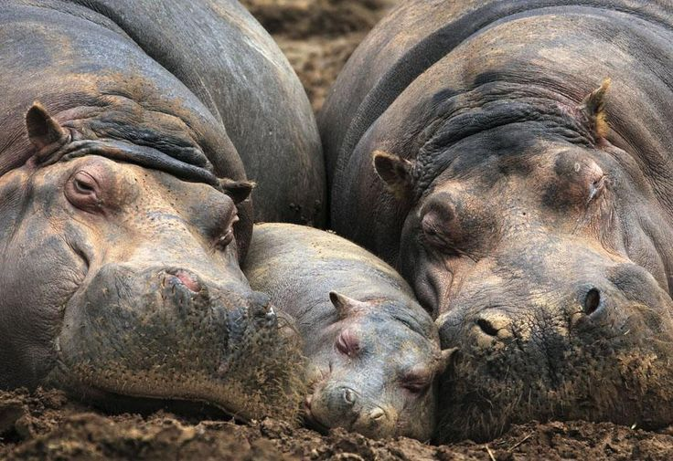 Un bébé hippopotame âgé de 4 mois se repose entre sa mère et une autre femelle dans le parc animalier de Cabarceno (Espagne)