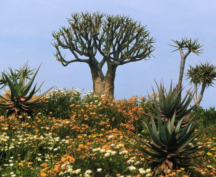 Quiver tree or kokerboom (Aloe dichotoma). www.biology-online.org/blog/?p=198 > http://en.wikipedia.org/wiki/Aloe_dichotoma