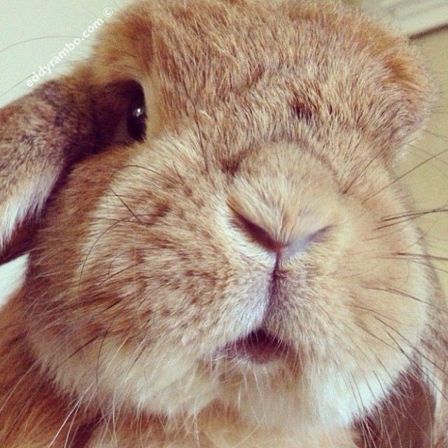 Baby bunny cheek chubby chubby chubby face wubby