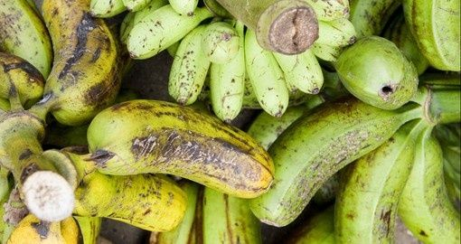 The traditional diet of the Tongan people consisted mostly of taro, yams, bananas, coconuts and of course seafood - the staple of any island nation. This is a picture of plaintain.
