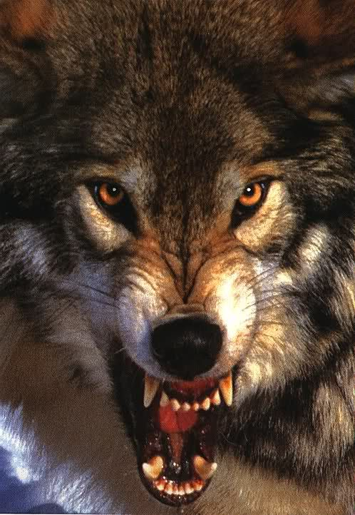 Angry black wolf red eyes - photo#16